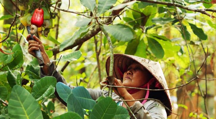 [Nổi Bật] Mùa Thu Hoạch Hạt Điều ở Việt Nam và trên thế giới